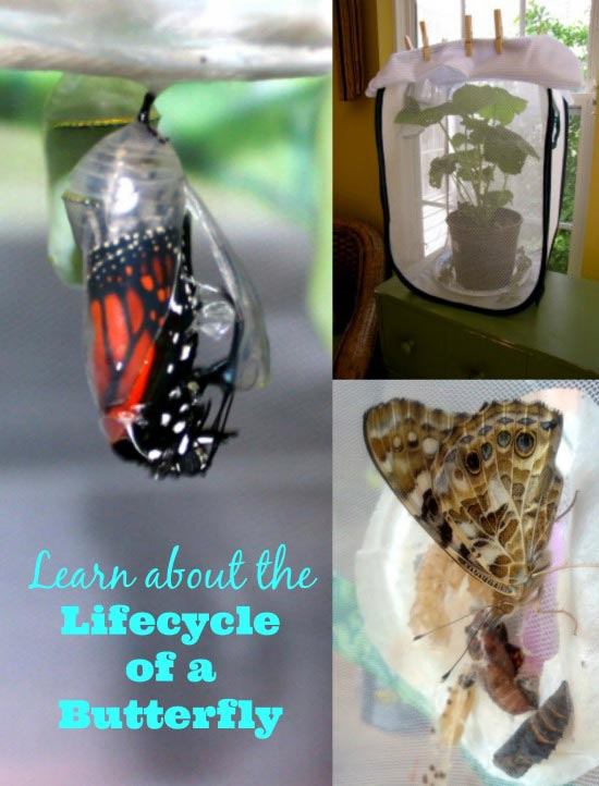 the lifecycle of a butterfly nature activities