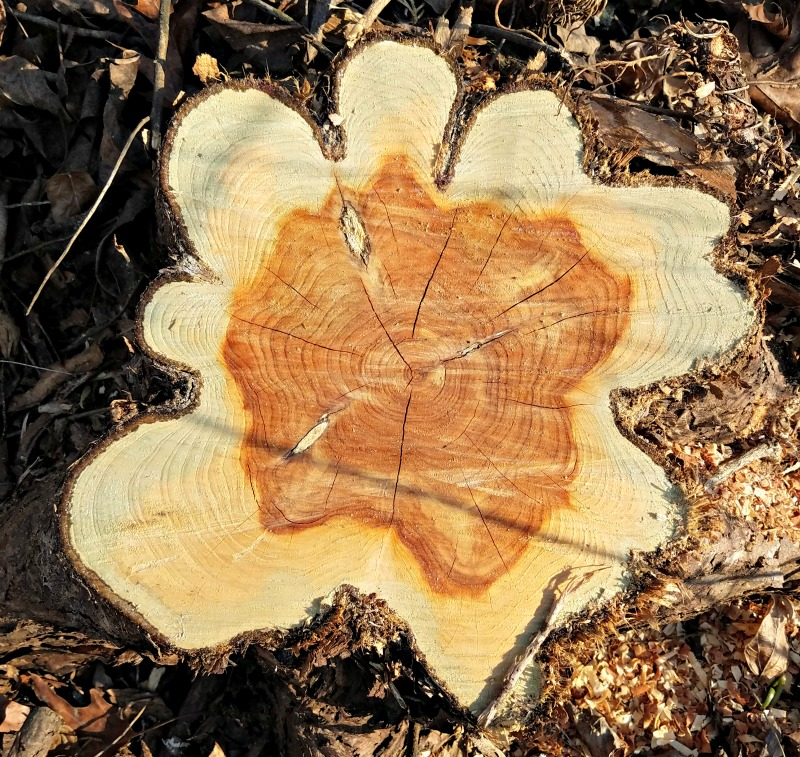 Dendrochronology & Tree Rings: Science Project for Kids - Edventures ...