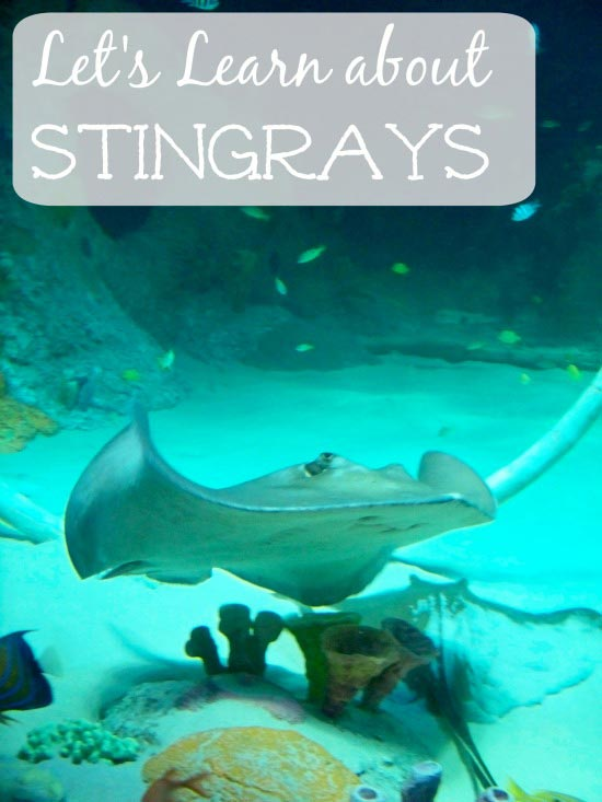 stingray facts for kids