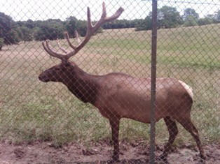 large-elk-small