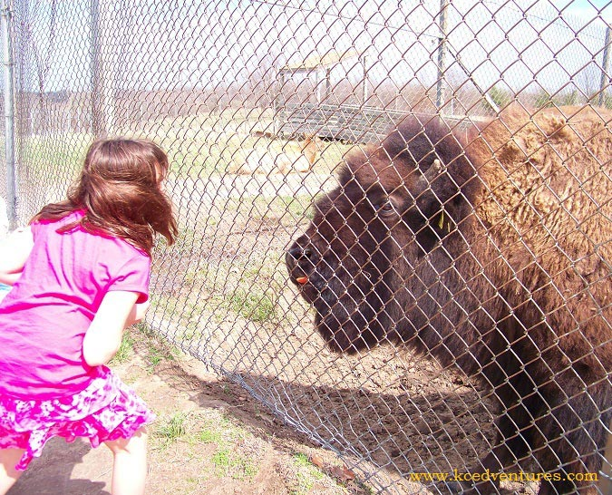 Feeding apples to the bison