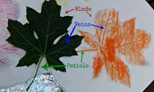 The Science of Leaf Prints   Edventures with Kids