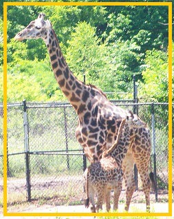 mama-baby-giraffe-small-framed