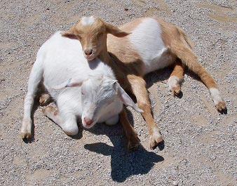 sleeping-goats-small