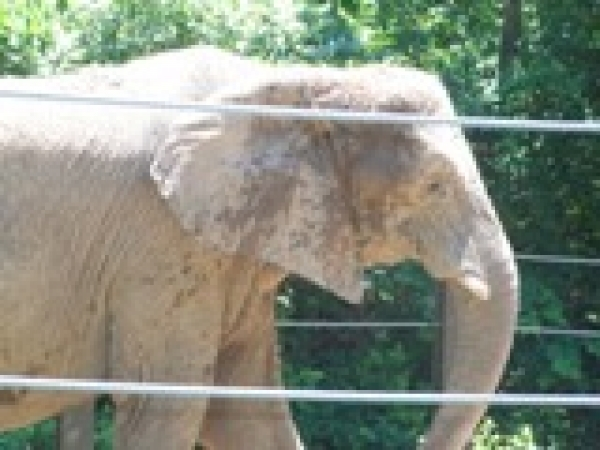 Elephant at Kansas City Zoo